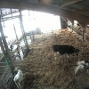 Cow Webcams