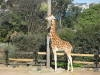 Giraffe Webcams